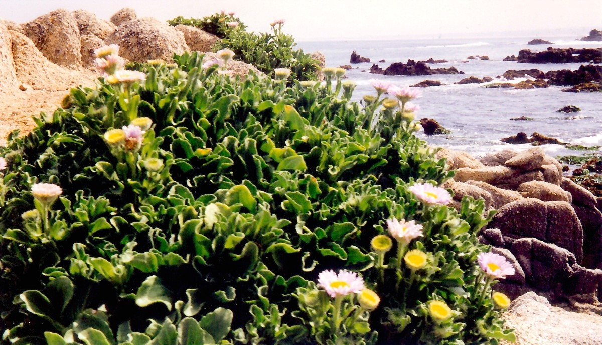 Hardy plants add color to the Pacific coastline.