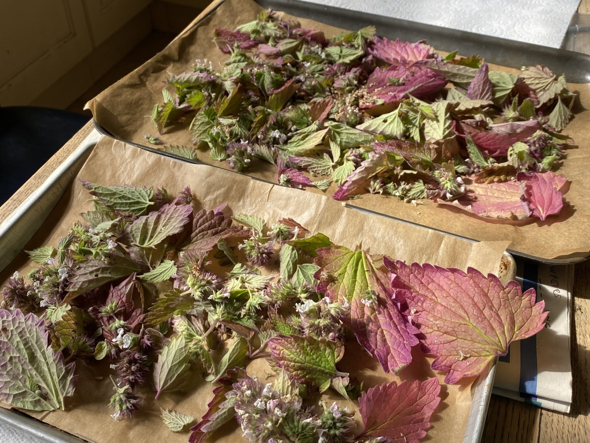 Some de-stemmed catnip on an oven tray for drying.