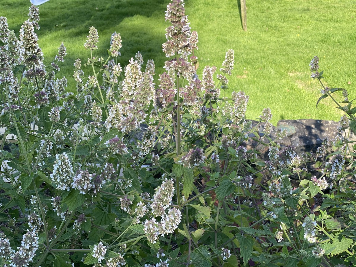 Though many consider it to be a weed, the beautifully flowering catnip can have many uses in allelopathy, homeopathy, and pollination.