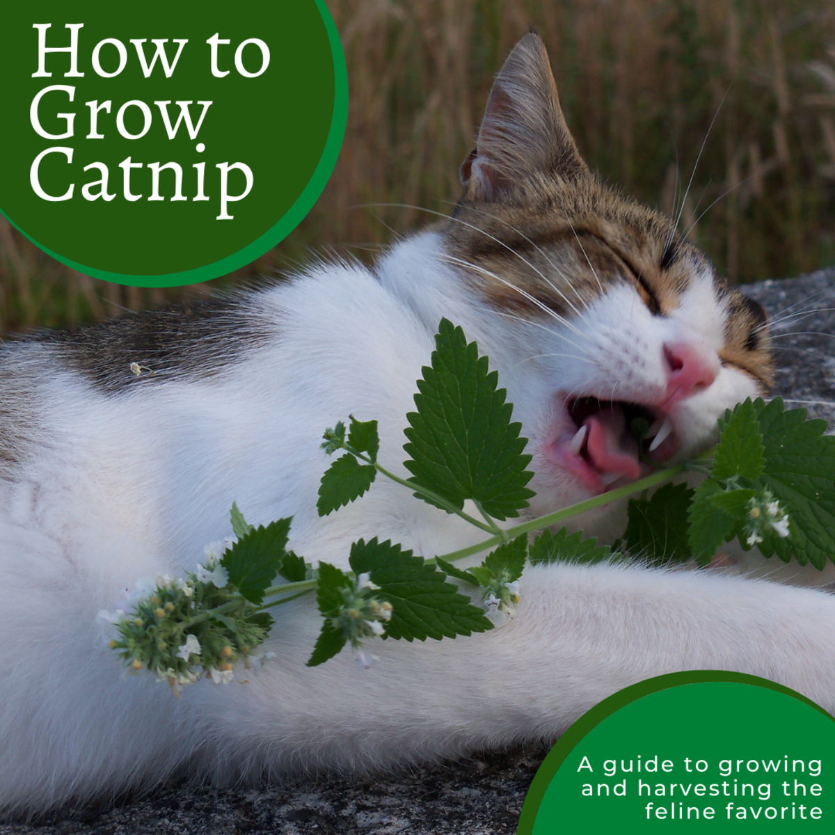 A Complete Guide to Growing Catnip From Seed to Harvest