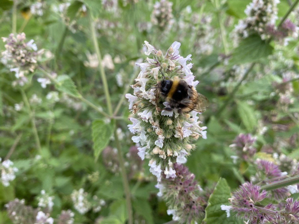 Since bees love catnip, the plant acts as an excellent pollinator.