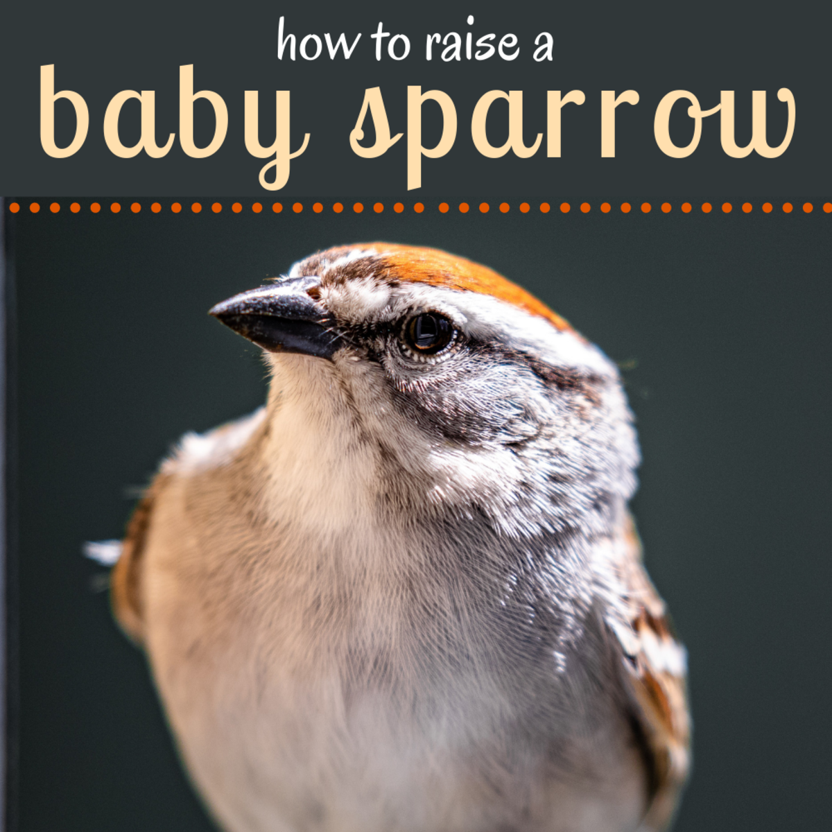 What to do if you find a baby sparrow.