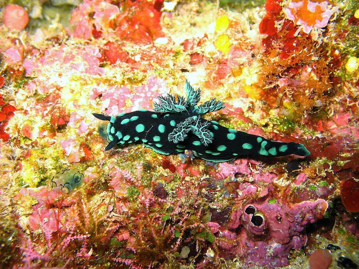 Facts About Sea Slugs and Photos of 12 Beautiful Species