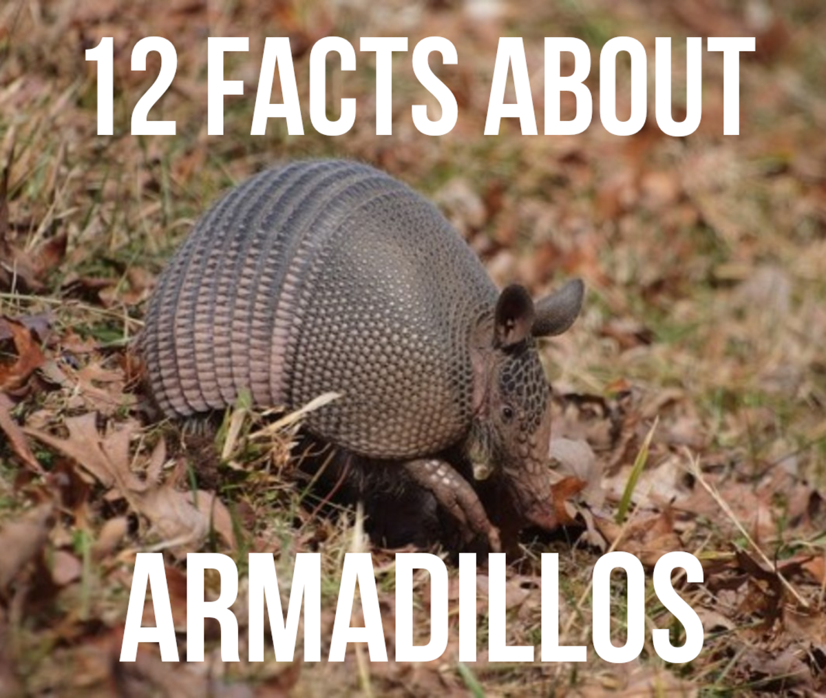 12 Facts About Armadillos