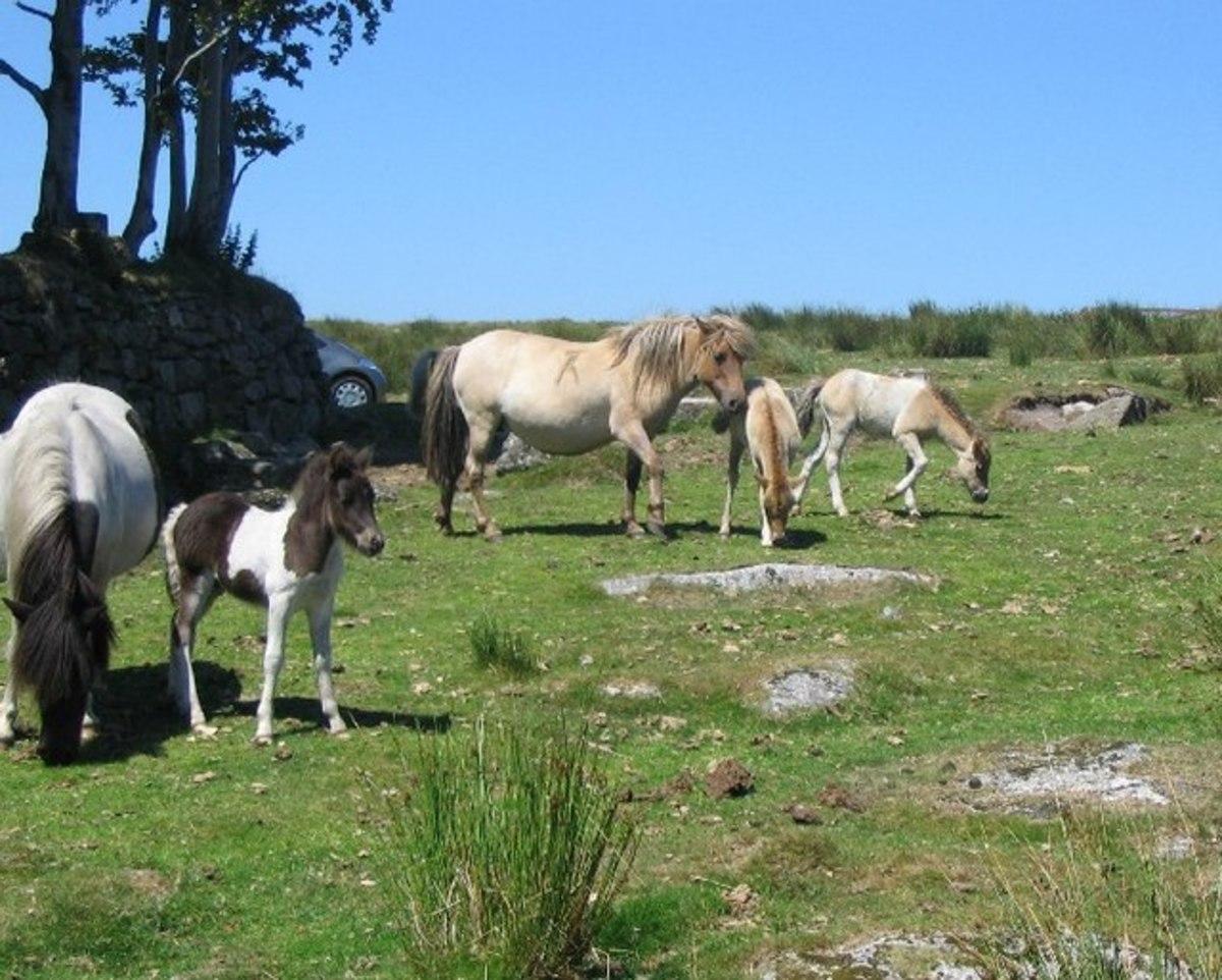 Dartmoor foals and ponies on Hameldon on Dartmoor
