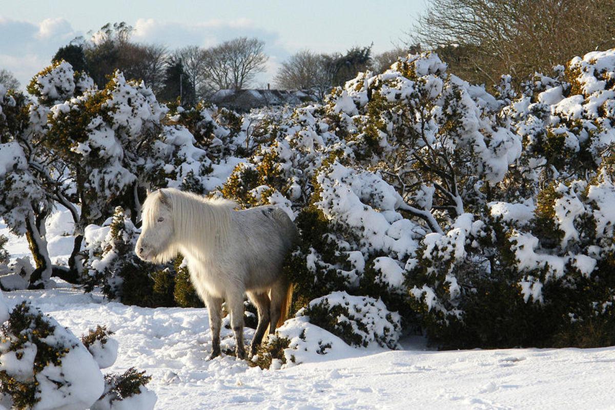 Dartmoor pony in snow at Burrator in South Devon.