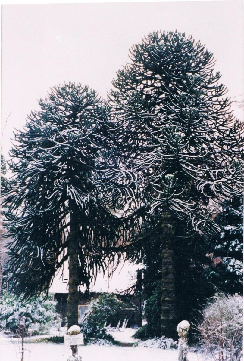 The male and female (left) Monkey Puzzle trees (in snow) were still producung viable seed up to 10 years ago until the female tree succumbed to old age.