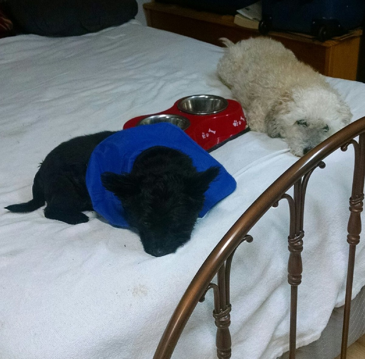 My nephew's pups love their Momma (my nephew's Mother) who they have lived with since his death.  They are sufficiently spoiled...Momma puts a bit of dry food on the bed in their dishes for a snack.