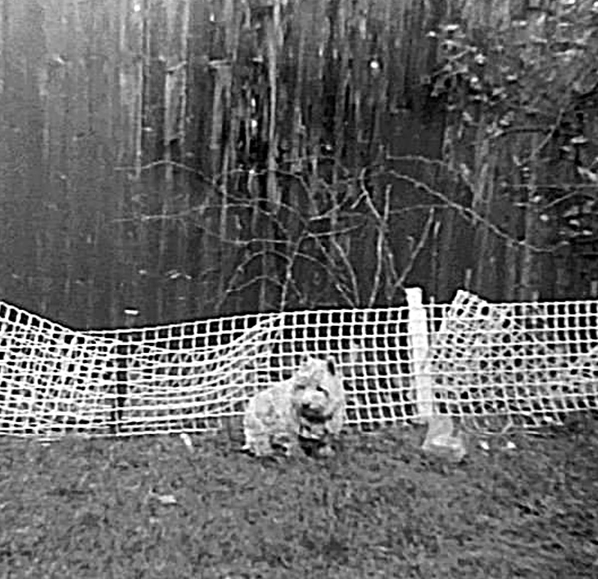 My dog sitting in the back garden in front of the fence dad had erected to try and stop my rabbit from eating his flowers. It didn't last long, however.