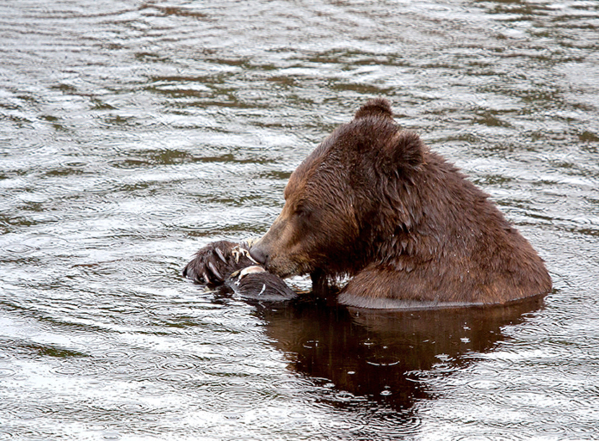 Competing with the bears for fish