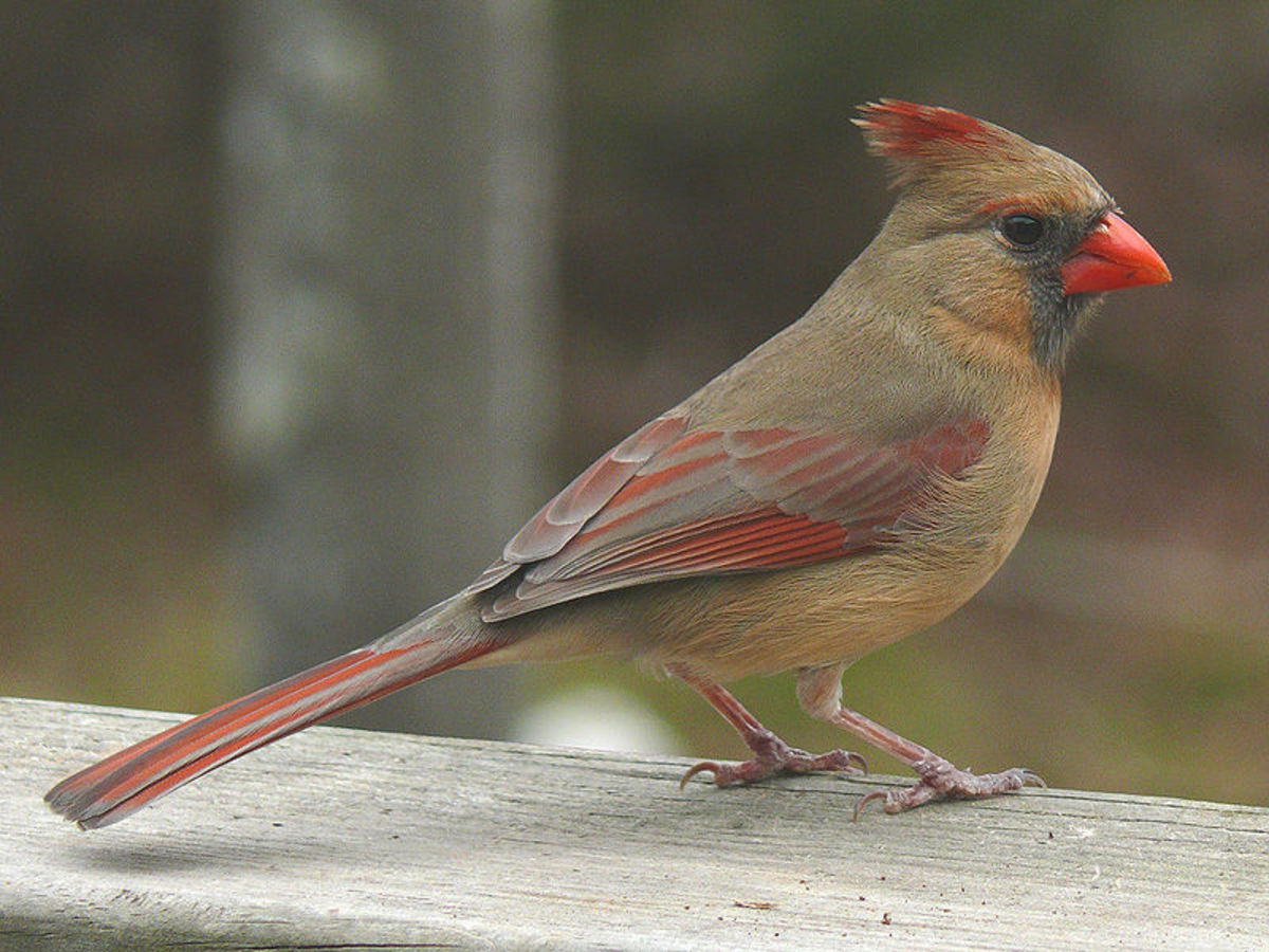 File: Northern Cardinal Female -27527.jpg Ken Thomas 2007-02-25 PD-self