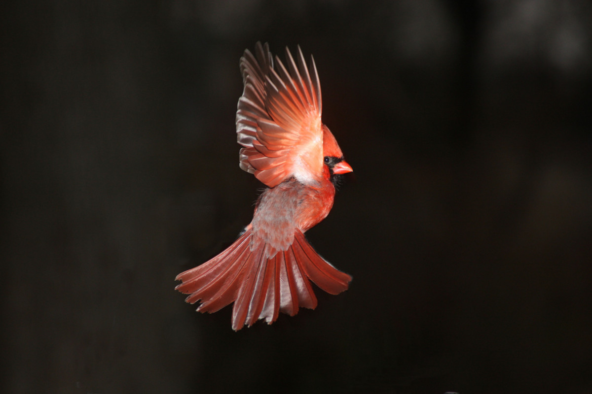 Cardinal in Flight