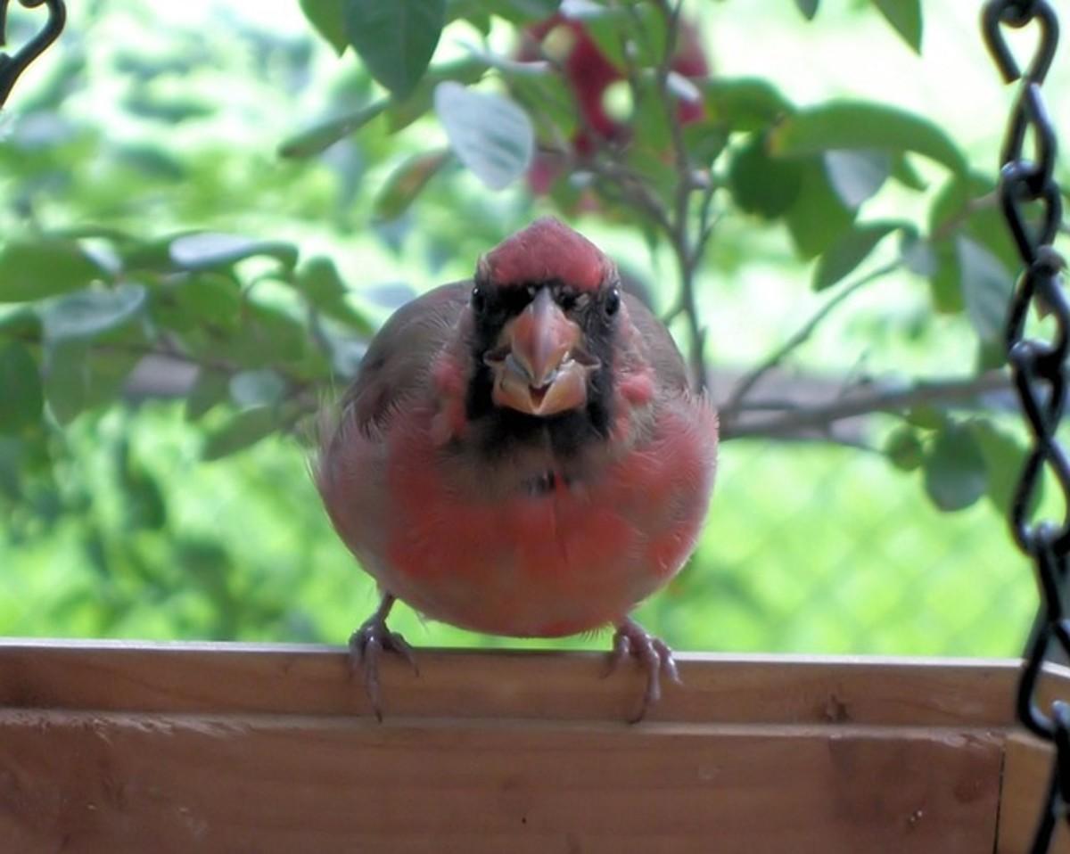CC0 Public Domain Cardinal