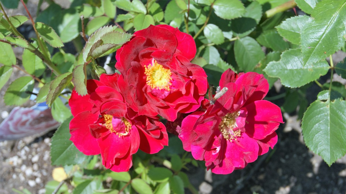 The Earth Blooms In Roses