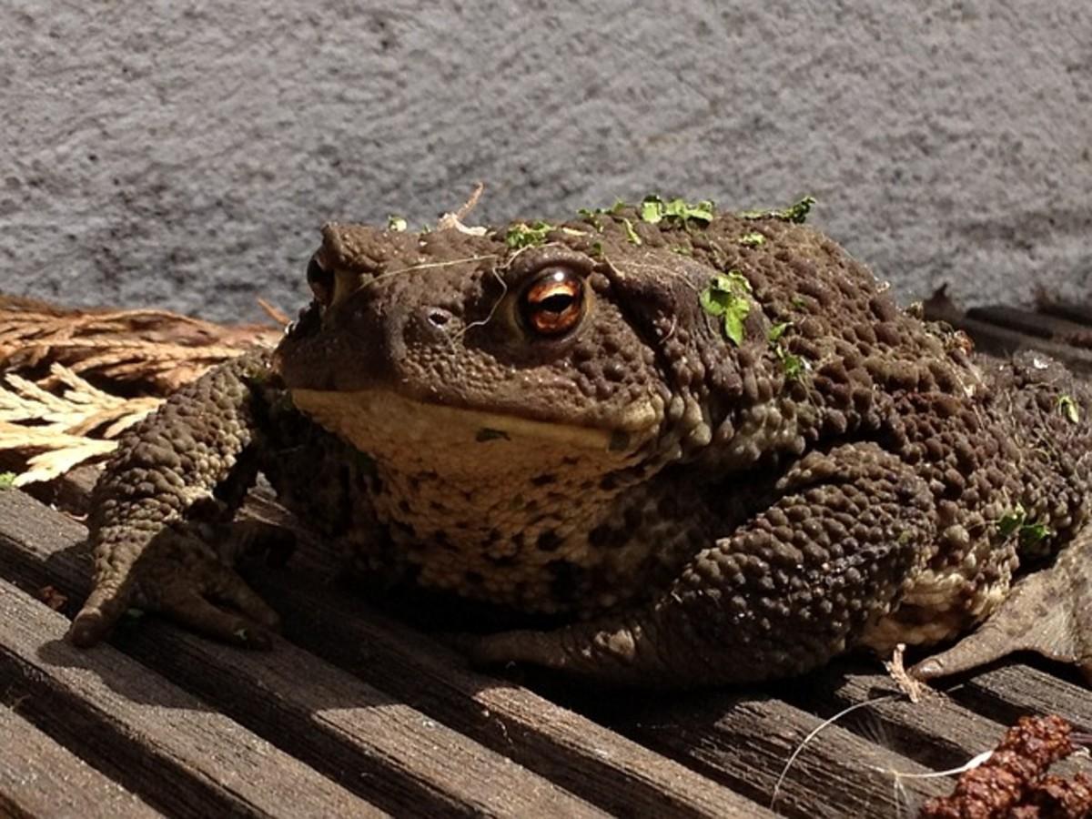 horny-toad-beware