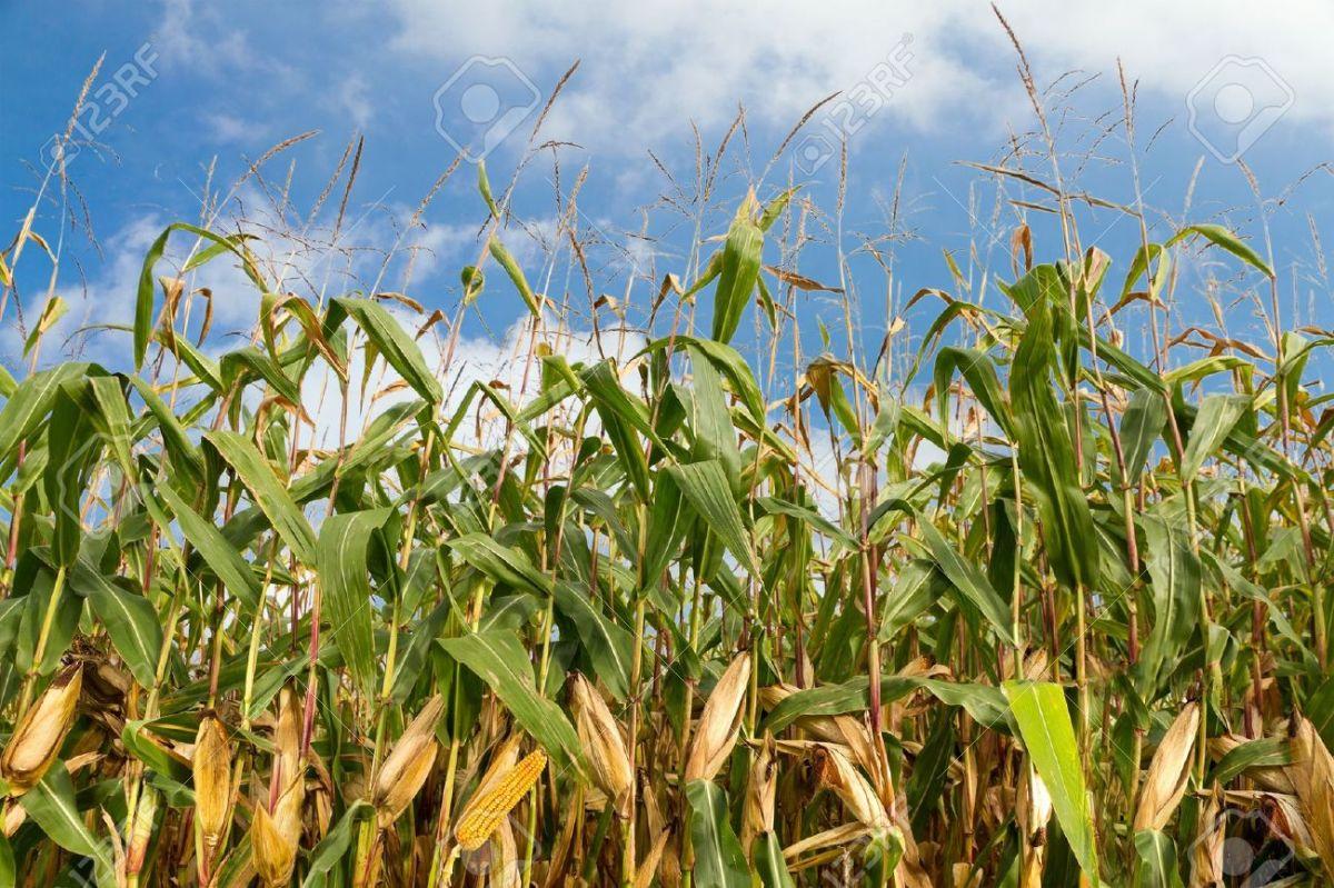 A corn field on their farm