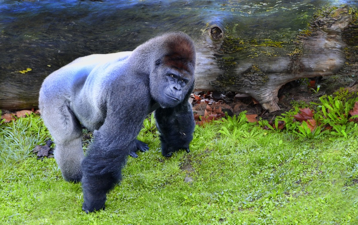 The massive ape was gaining ground quickly and was now almost upon her.