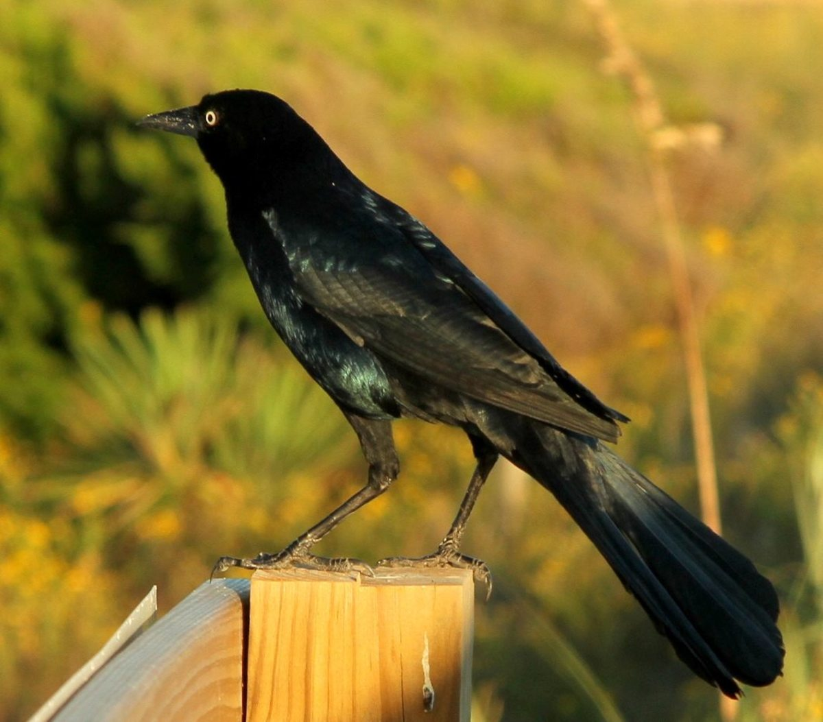 Ravens, such as this Grackle, are mentioned many times in the Bible.