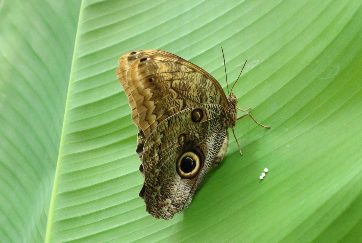 A butterfly lays eggs.
