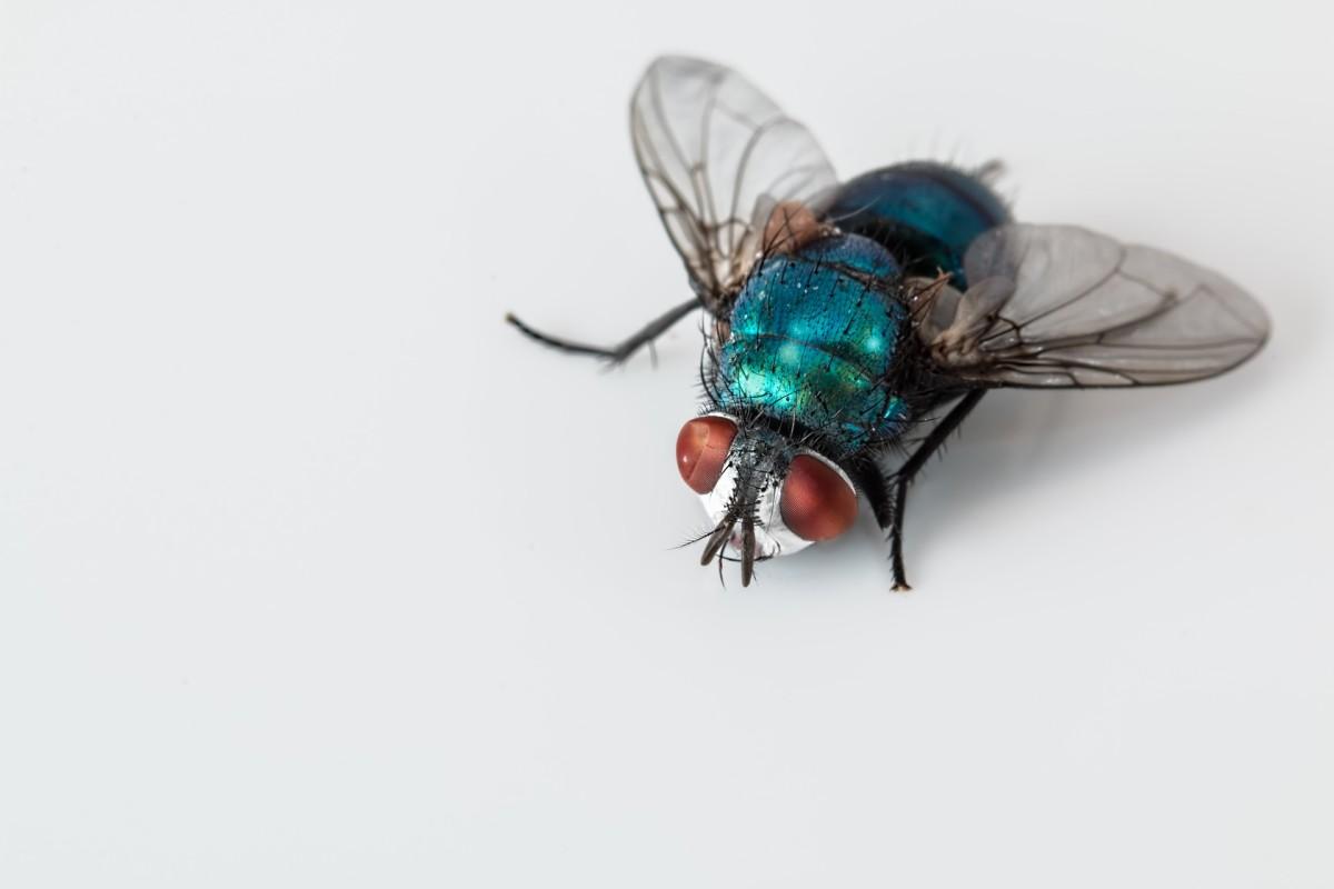 a blowfly