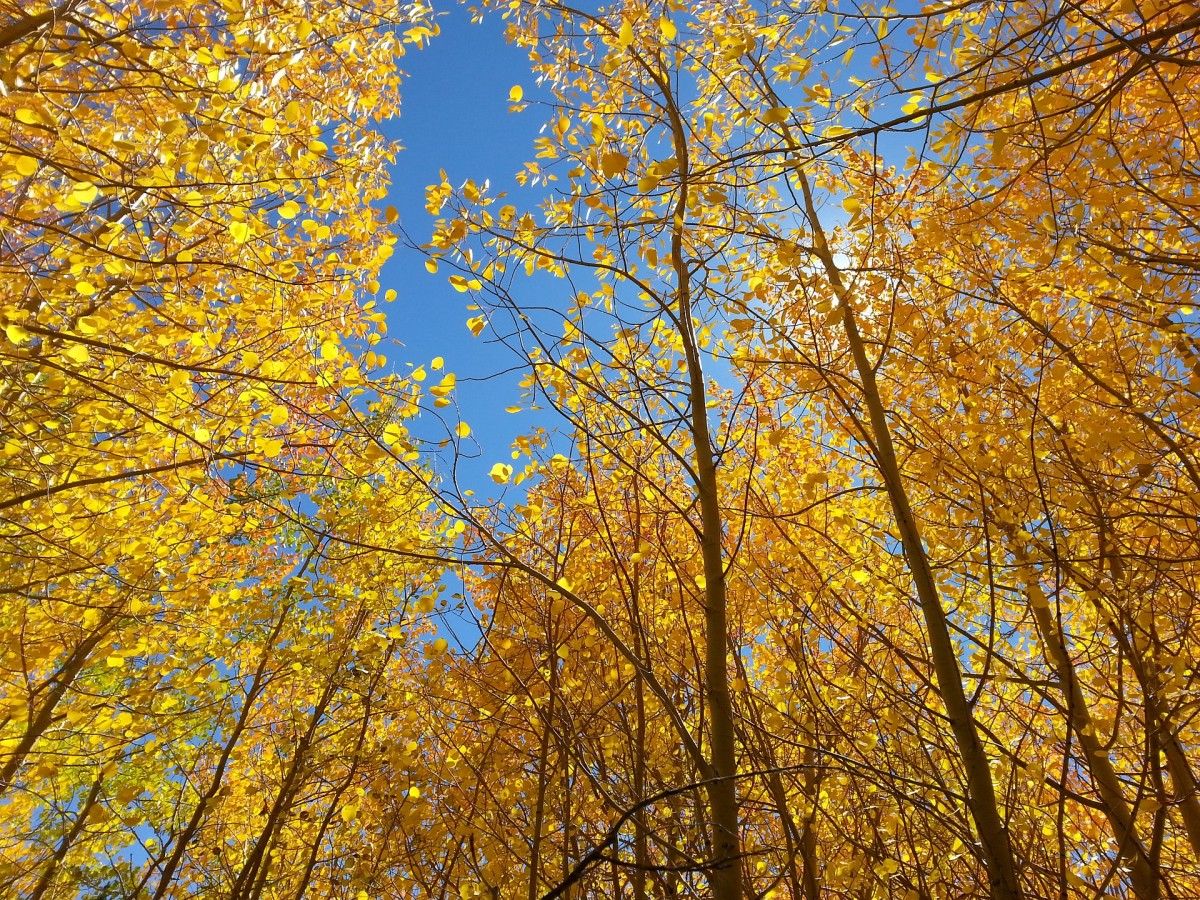 I couldn't help sharing the beauty of Aspen trees in the sunlight.