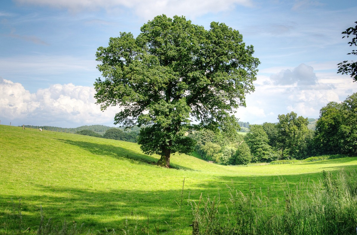 An oak tree in England