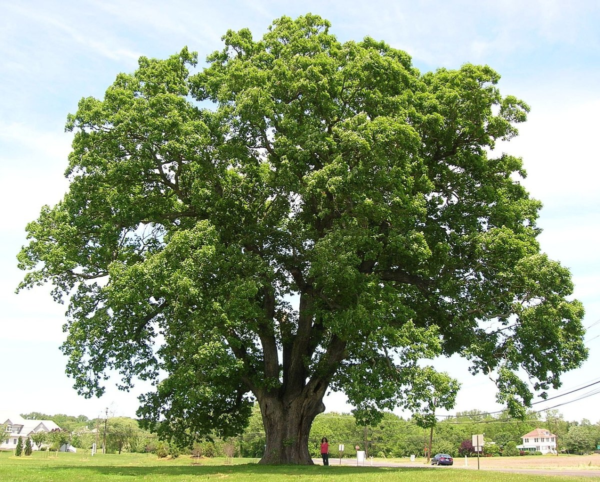 The Keeler oak tree is a white oak (Quercus alba) located in New Jersey. It's believed to be around 300 years old.