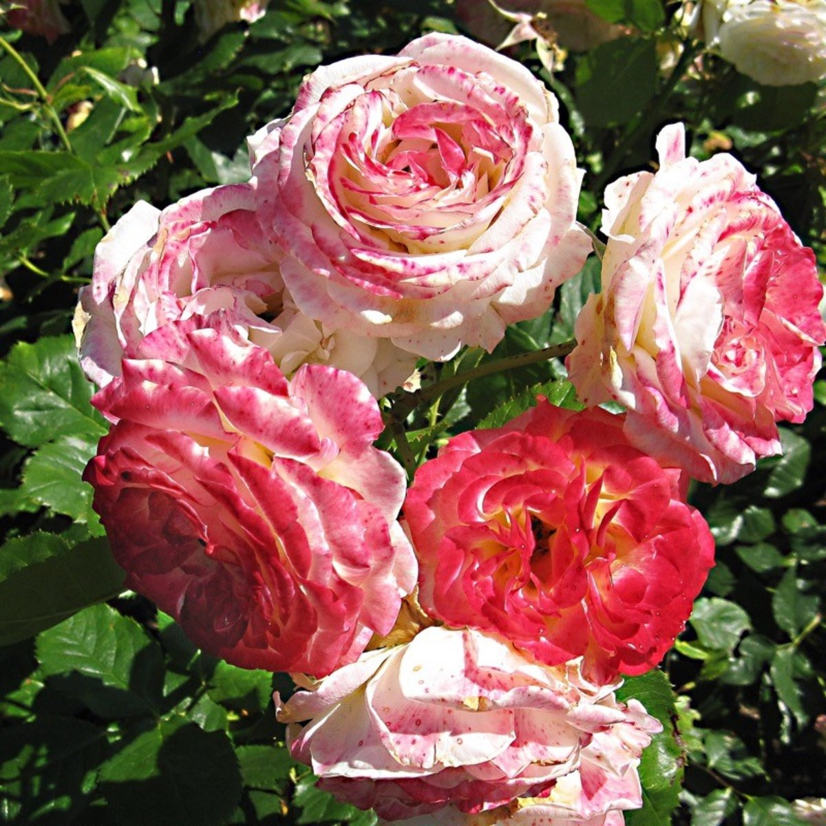 Roses growing in a rose garden
