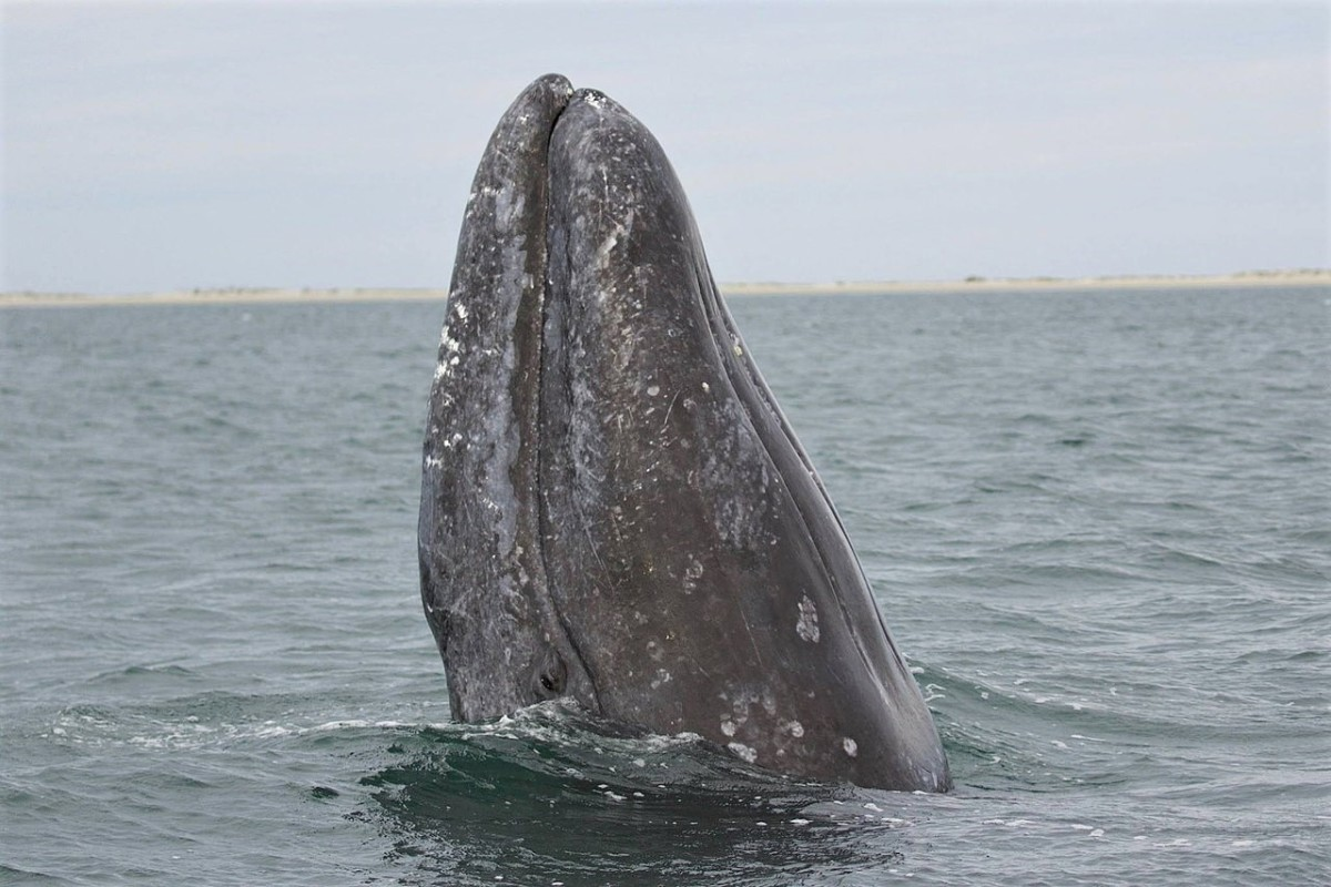 A gray whale spyhopping