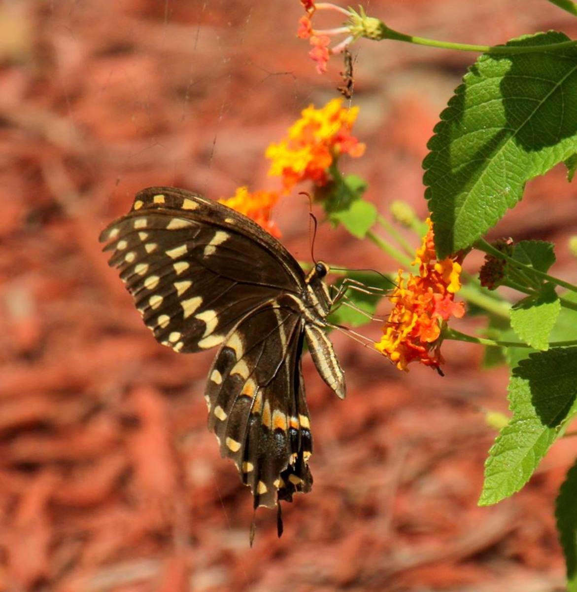(Palomedes Swallowtail) Butterflies can teach us a lot about enjoying life.