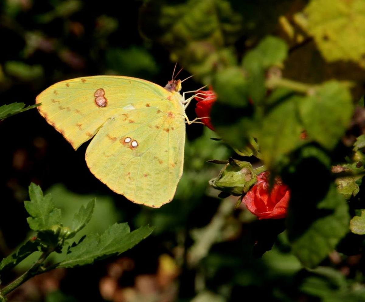 (Cloudless Sulphur) Butterflies are interesting insects for many reasons.