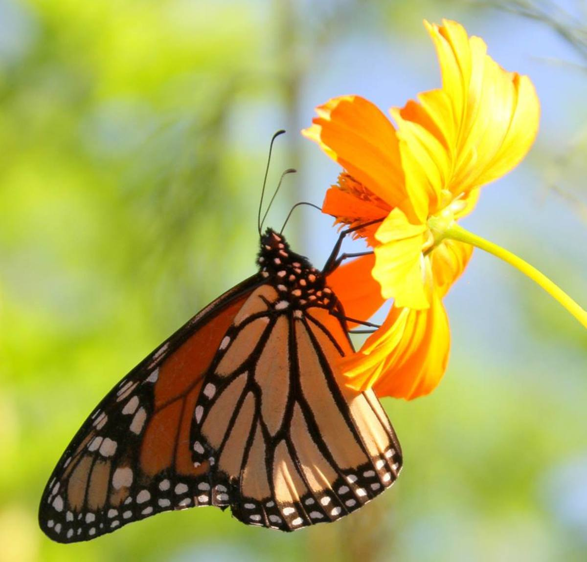 Monarchs compete with other creatures, such as humans, for natural habitat.