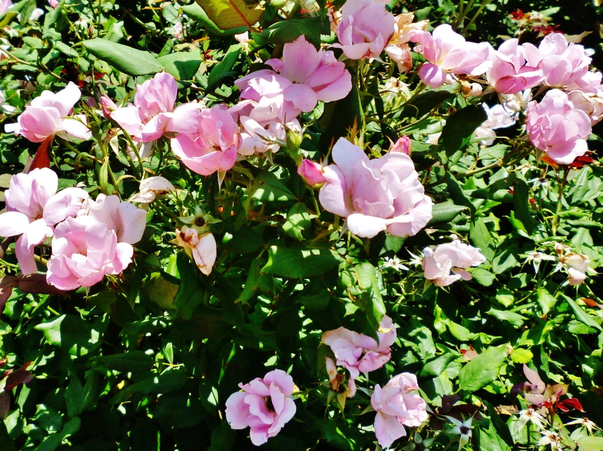 Lauren's Garden rose bushes