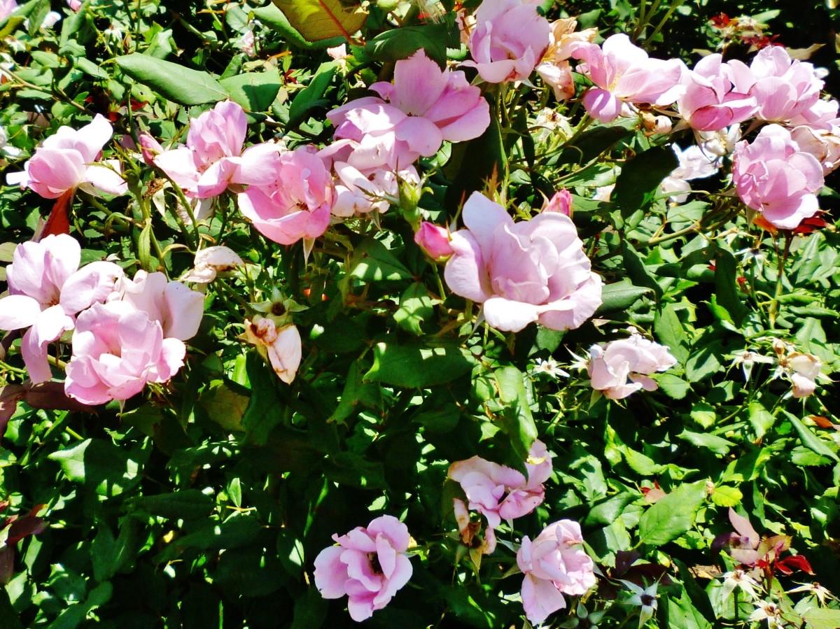 Lauren's Garden rose bushes