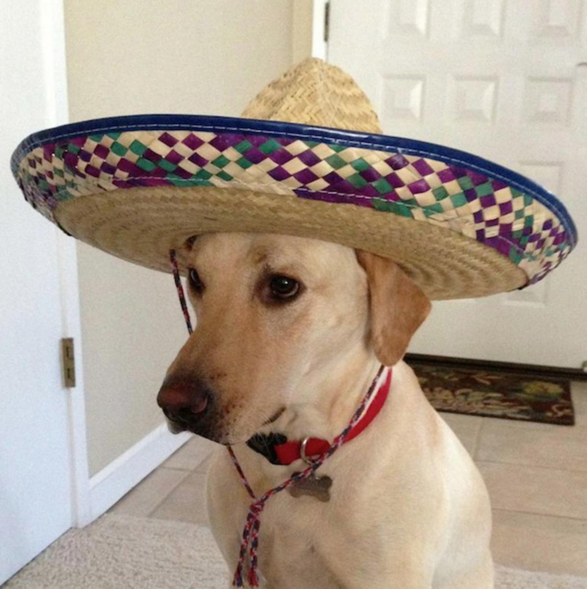 Senior Barks-a-lot with Sombrero
