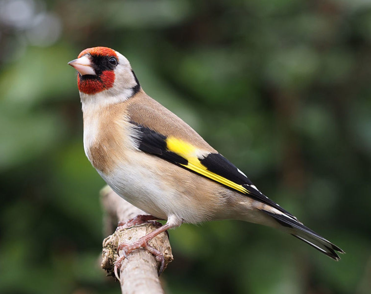 Gregarious Goldfinch