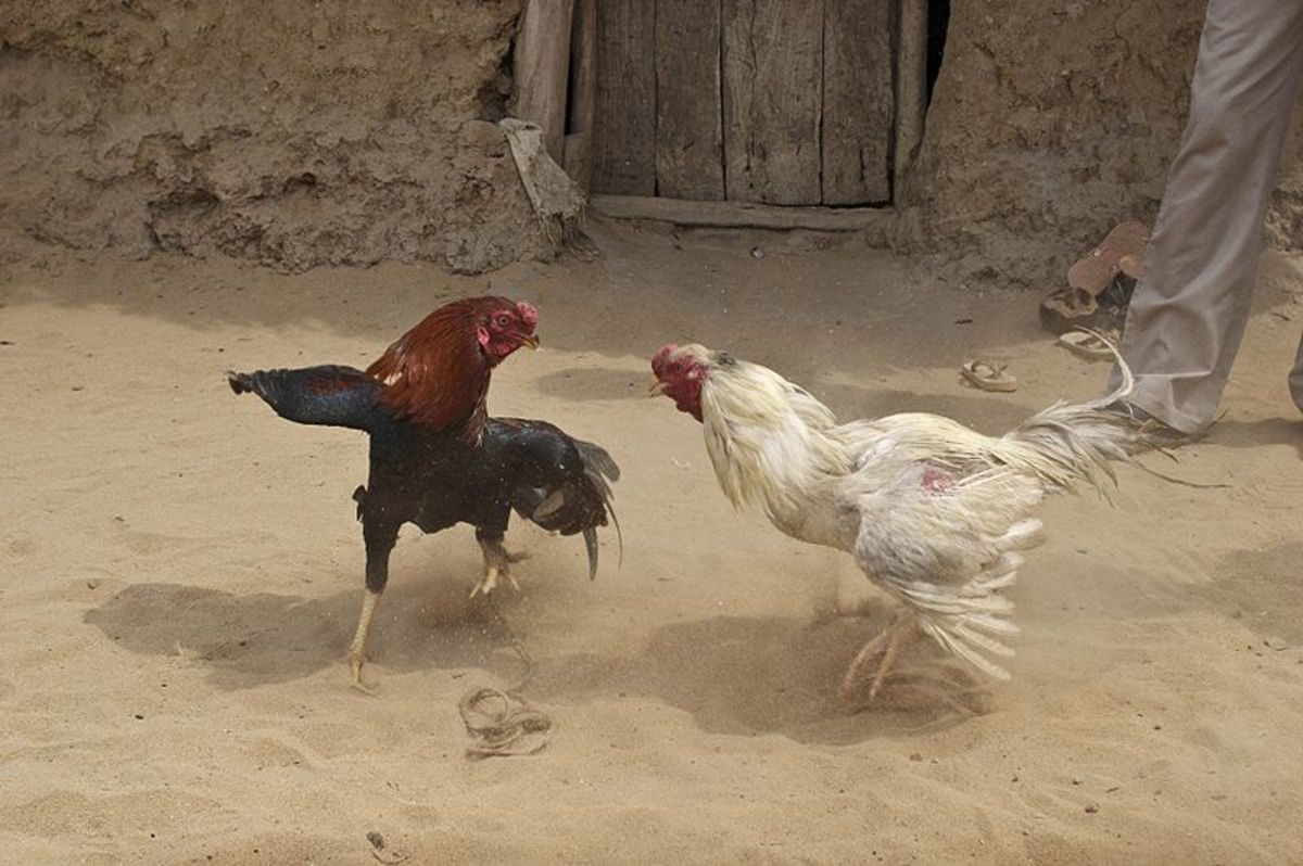 Cock fighting in India