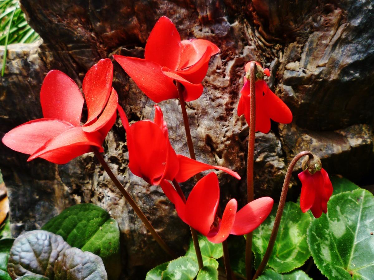 Cyclamen in bloom