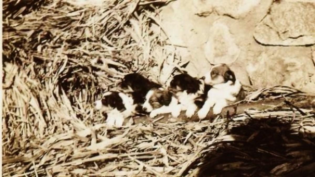 Some puppies amidst corn husks