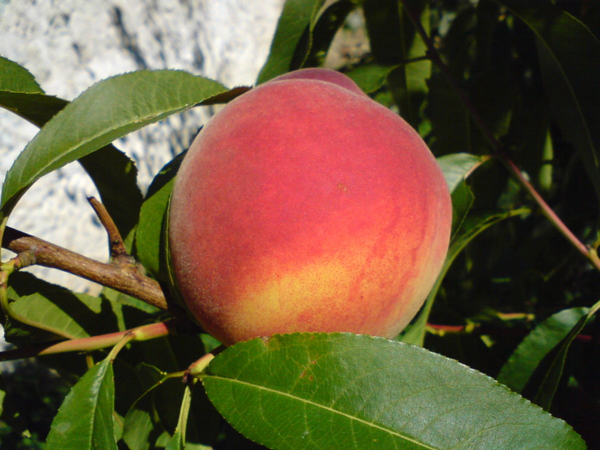 Ron's peach was even more beautiful than this one. I wish I had taken a picture of it all those years ago.