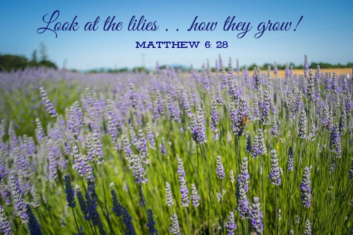 """""""Look at the lilies of the field and how they grow. They don't work or make their clothing, yet Solomon in all his glory was not dressed as beautifully as they are."""" (Matthew 6: 28, 29 NLT) Photo by Visitor7"""