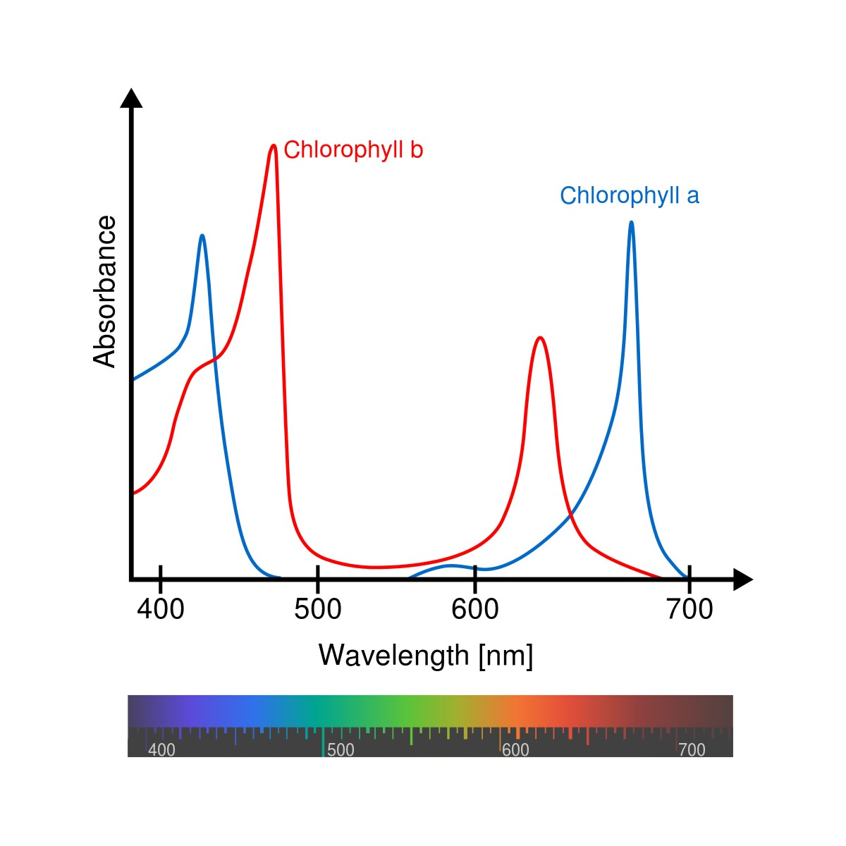 The absorption spectra of chlorophyll a and b are slightly different. Wavelength is measured in nm, or nanometers. A nanometer is a billionth of a meter.
