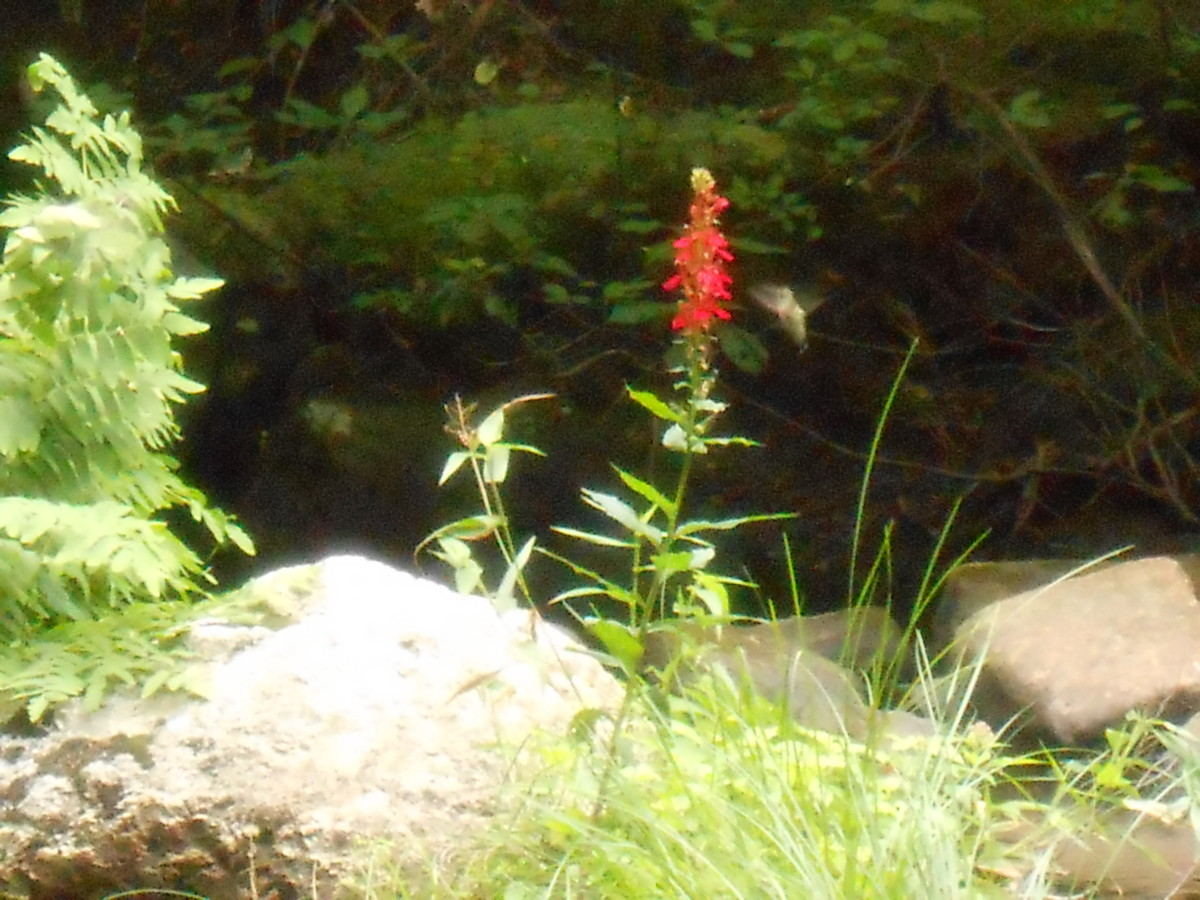 Wild life amazes me and if I have a chance to view animals in their natural habitat, I often consider it a blessing and write about it, like this hummingbird I captured going after a drink from a flower growing in the middle of a stream.