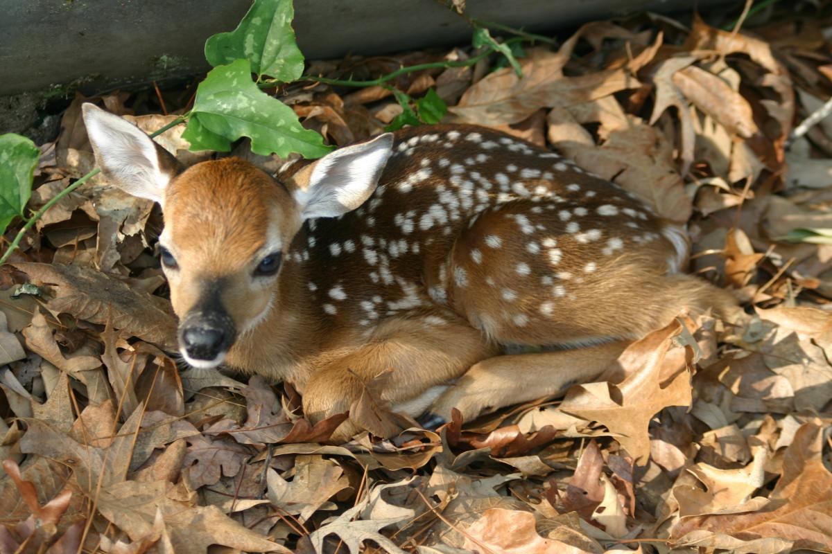saving-bambi