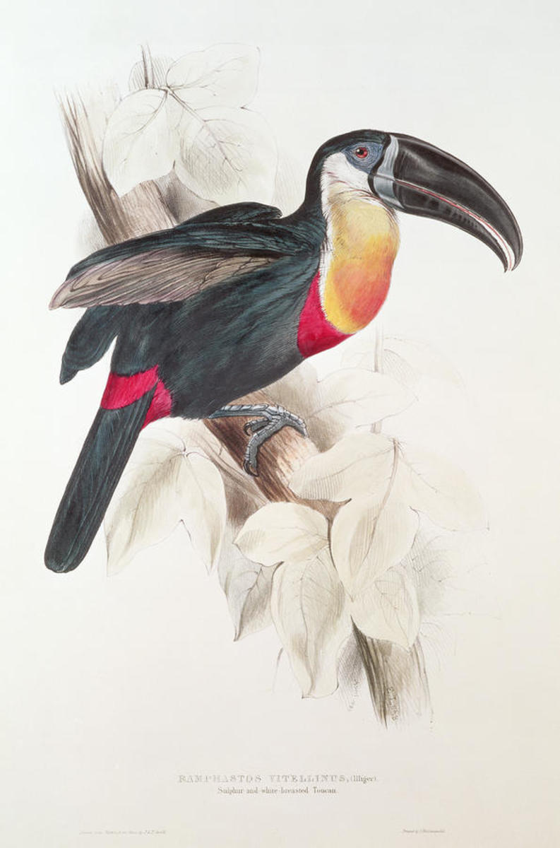 Toucan Colour lithograph by Edward Lear