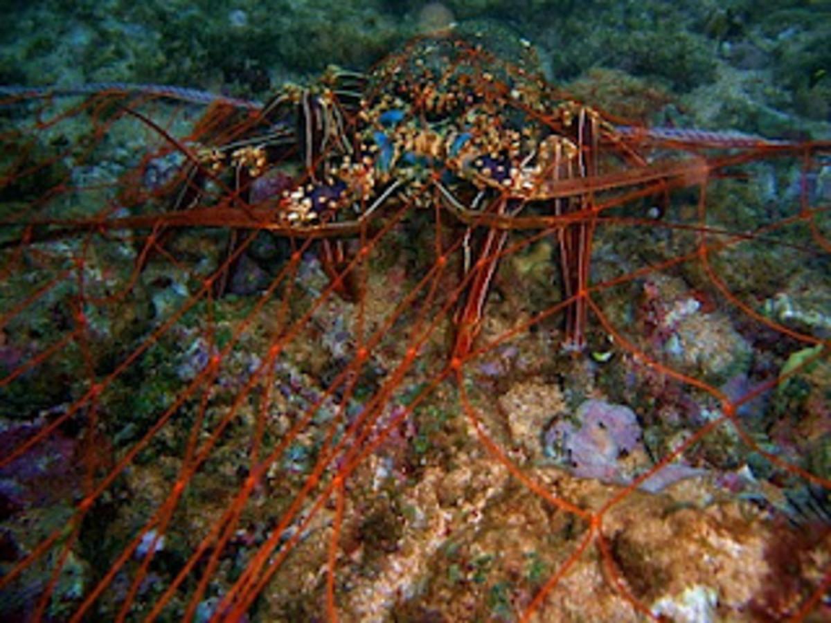 The Hawaiian Spiny Lobster