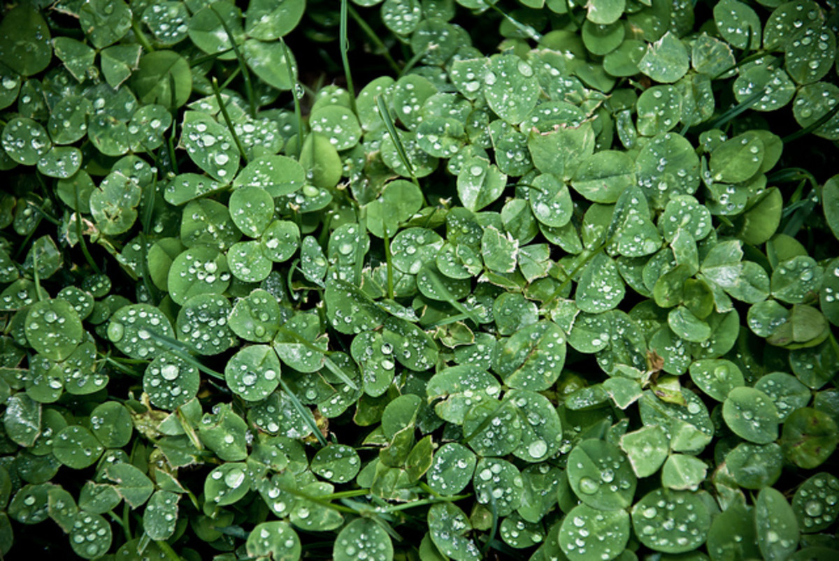 Can you spot a four-leaf clover in this patch of shamrocks? Remember to always keep your eyes open to signs of magic around you and luck will find you!