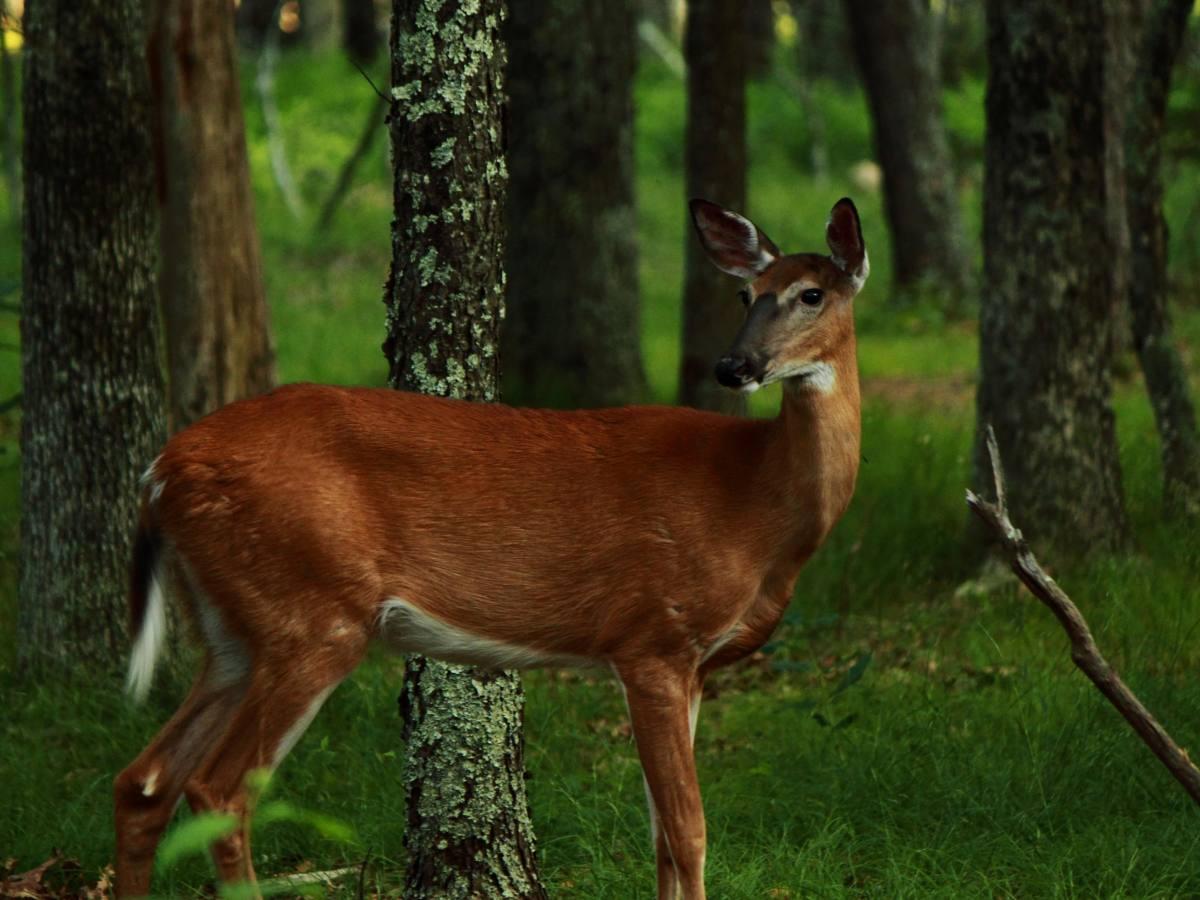 A Beautiful Doe Deer