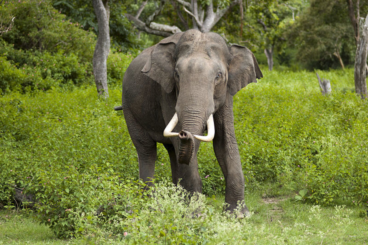 Asian elephants, along with other escaped zoo animals will have to adapt to new environments or die.