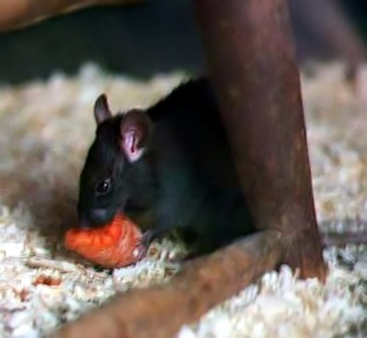 Rodents like black rats will swarm into abandoned shops and houses and experience a temporary population boom due to the excess of food.
